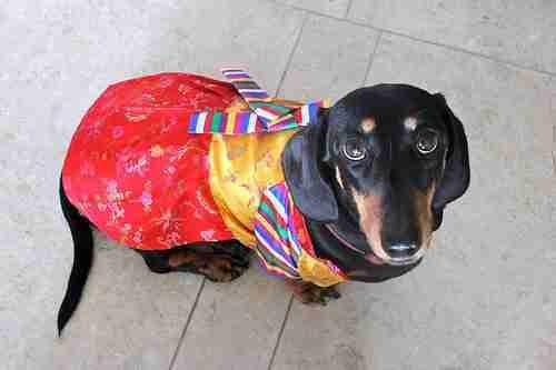 Dog in a hanbok